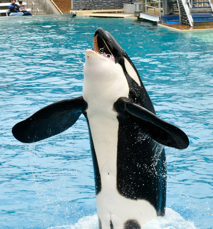 Photo of Shamu the Killer Whale at Sea World, rising out of a pool.