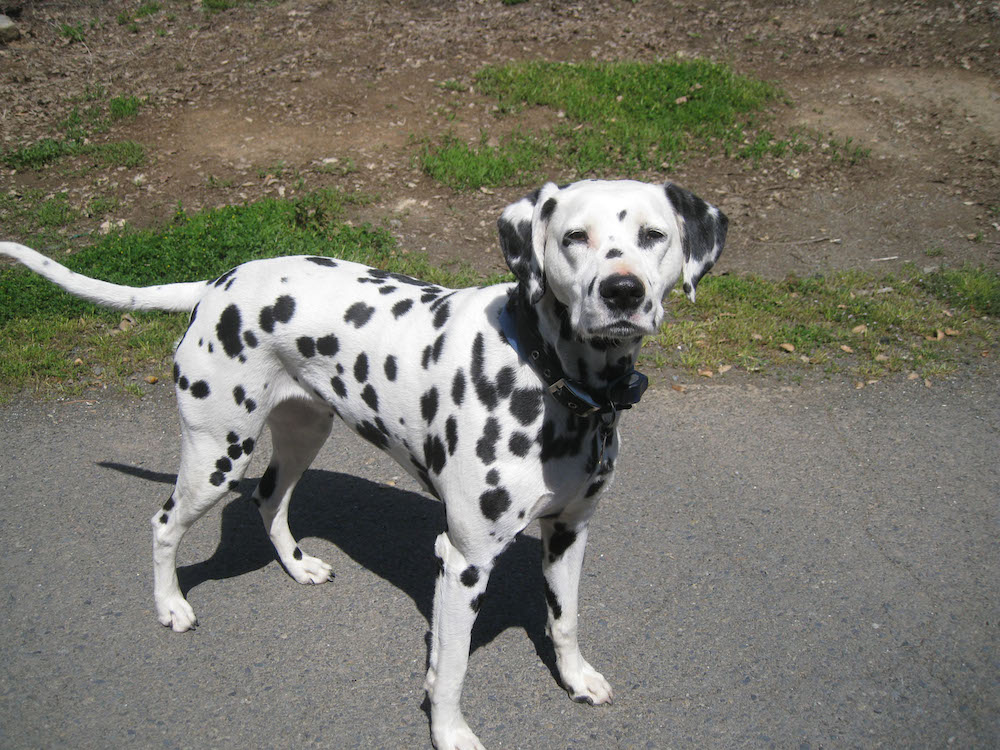 A Dalmatian dog; white with black spots.