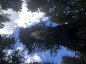 Looking straight up, where there are bright clouds among and above the high tops of the redwoods